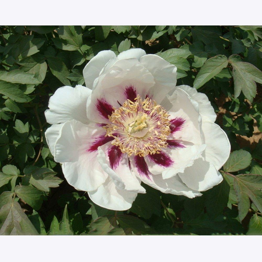 Amazon.com: Mejor Jardín semillas raras Hua Ban blanco ...
