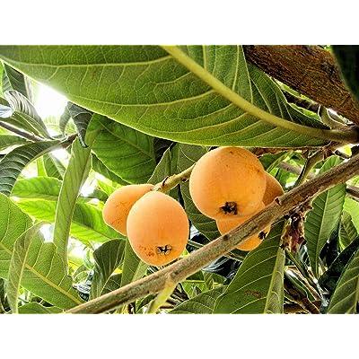 Loquat Tree Seedling Size for Sale (Live Bareroot Plant) : Garden & Outdoor