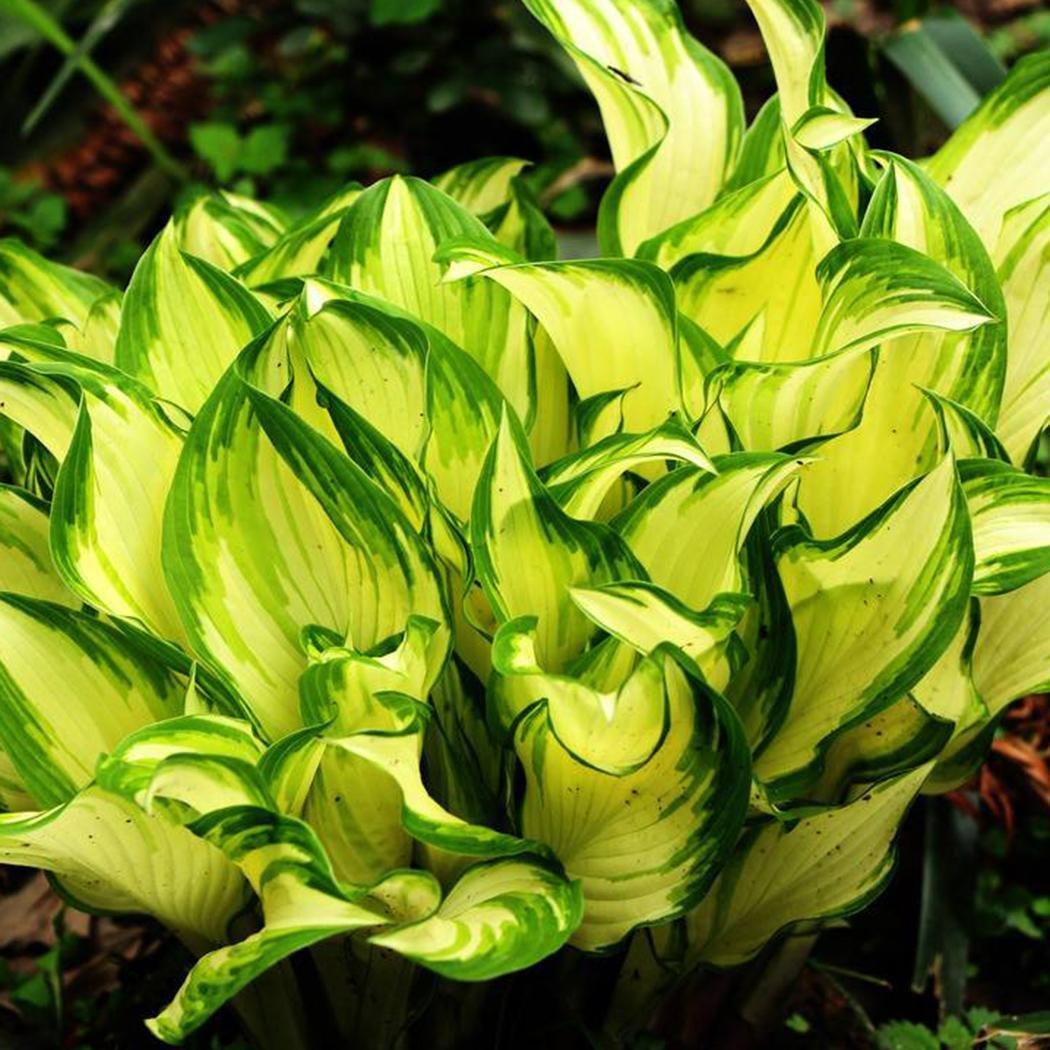 Amazon new nice adorable flower fragrant blooms fragrant amazon new nice adorable flower fragrant blooms fragrant plantain lily seeds 1 garden outdoor izmirmasajfo
