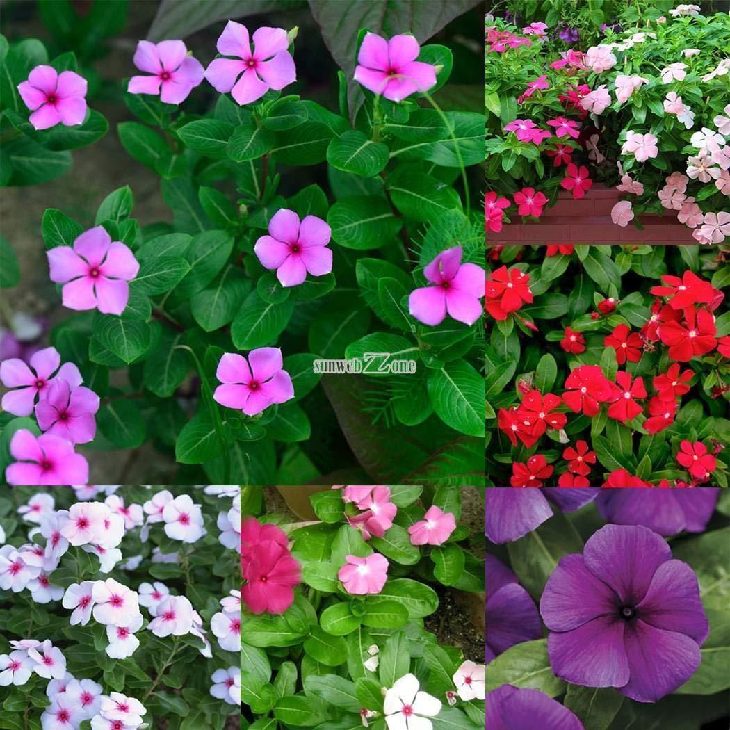 Portal Cool Seeds Package: Rosa Rosa: 10 piezas Vinca Rosea Bígaro Diy Home Garden Bonsai Macetas y Rr6 01
