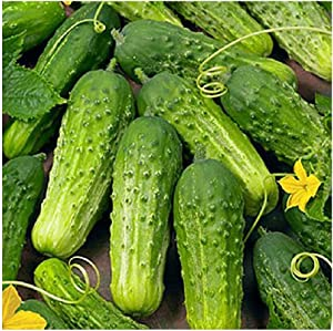 David's Garden Seeds Cucumber Pickling Boston SL3009 (Green) 50 Non-GMO, Heirloom Seeds