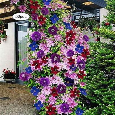 airrais 50Pcs Beautiful Clematis Flower Seeds Home Garden Climbing Plants Flowers : Garden & Outdoor