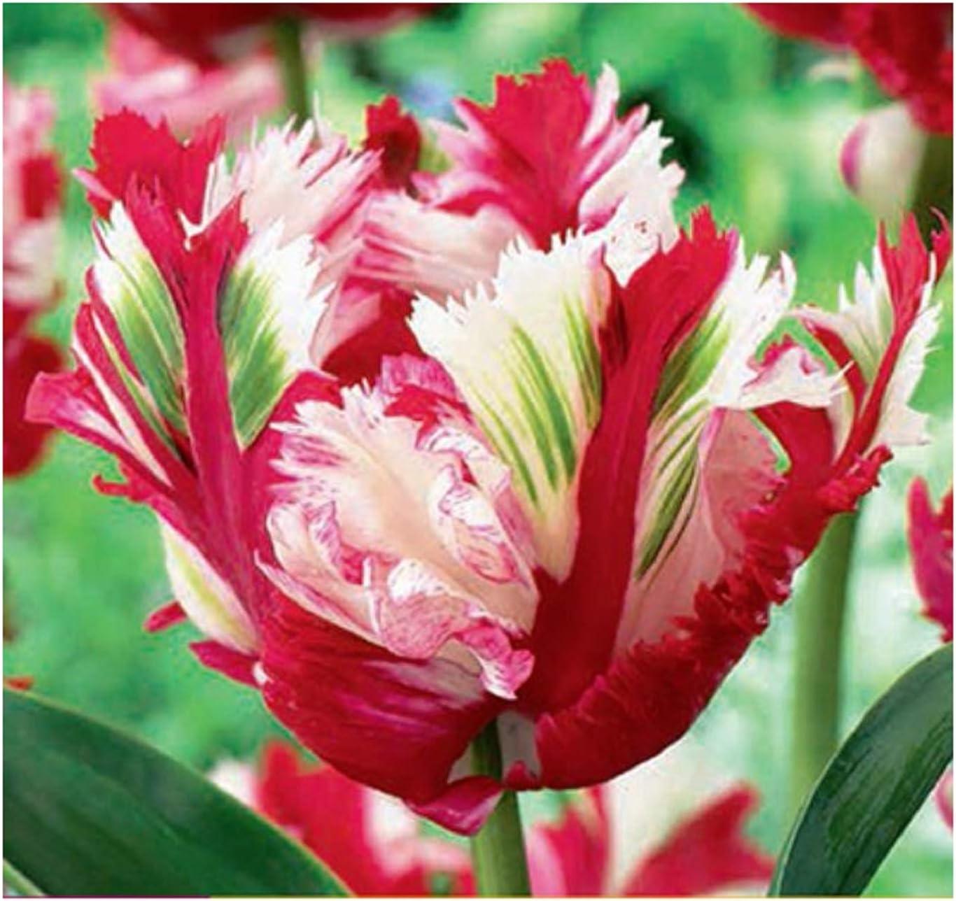 15 X Tulipán Estella Rijnveld-Tulpenzwiebeln Cebolla Tubérculo K ...