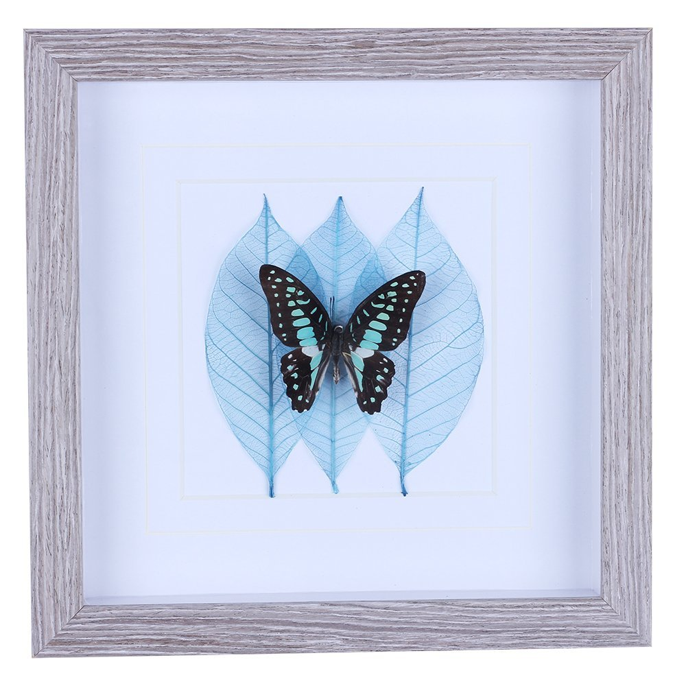 Shadow Box with Real Butterfly Specimen Framed for Wall Art Decoration of Kids Room Classroom Hotel Office Kitchen Bathroom Living Room 10 x 10 Rectangular Suit to Any Home Design (Graphium Doson)