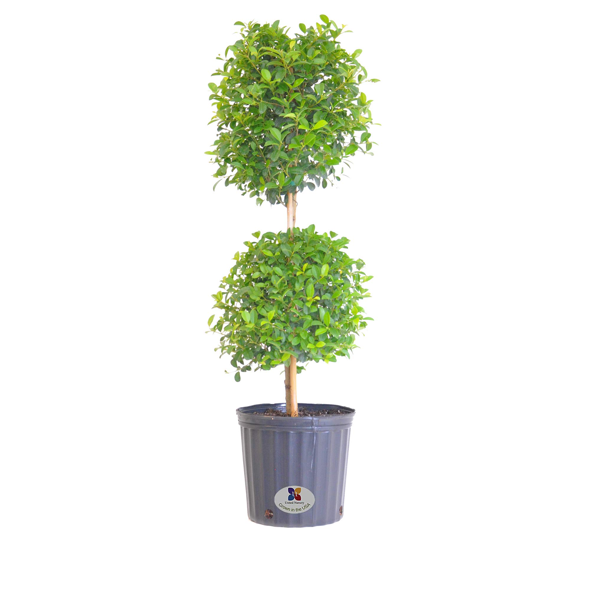 United Nursery Eugenia Topiary Live Outdoor Euginia Myrtifolia Plant Shipped in 9.25 inch Grower Pot 39-41 inches