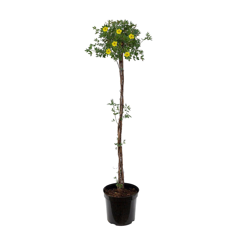 60-80 cm hoch plus 1 Paar Handschuhe gratis 3 Liter Container Dominik Blumen und Pflanzen 1 Pflanze F/ünffingerstrauch Potentilla fruticosa zum St/ämmchen gezogen gelb bl/ühend
