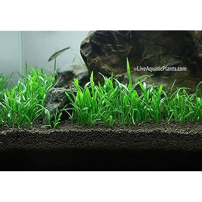 Exotic Live Aquatic Plant for Fresh Water Lilaeopsis novaezelandiae Bundle B082 By Jayco**BUY 2 GET 1 FREE : Garden & Outdoor