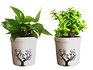 Rolling Nature Combo Of Good Luck Live Money Plant And Jade Plant In White Jar Aroez Ceramic Pot