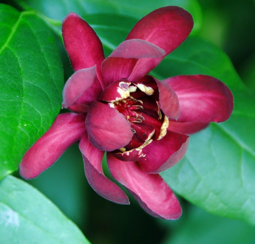 Calycanthus Aphrodite PPAF- Sweetshrub – Fragrant – Proven Winners – 4 Pot