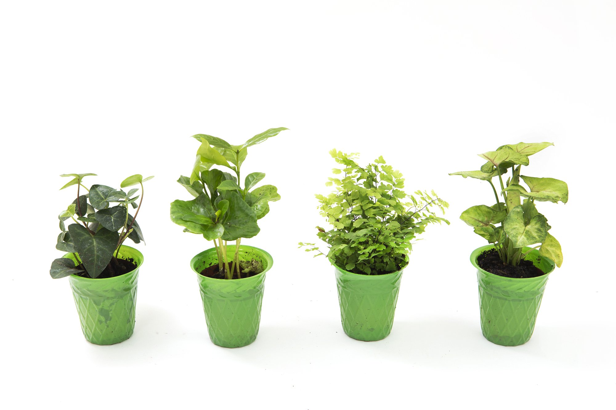 KaBloom Live Plant Collection: Set of 4 Foliage Plants in a 3-inch Green Plastic Pot - Ivy, Coffee Plant, Fern, & Nephthytis Plant