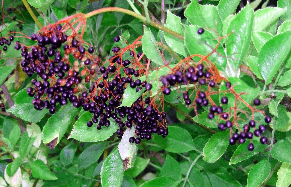 Elderberry black beauty tree, malat teen naked