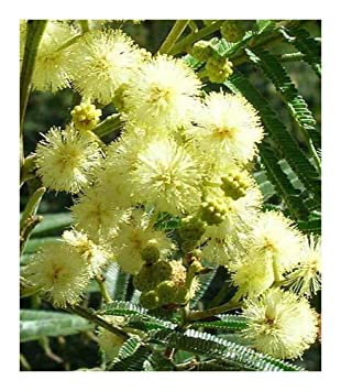 Acacia Mearnsii Black Wattle 100 Seeds