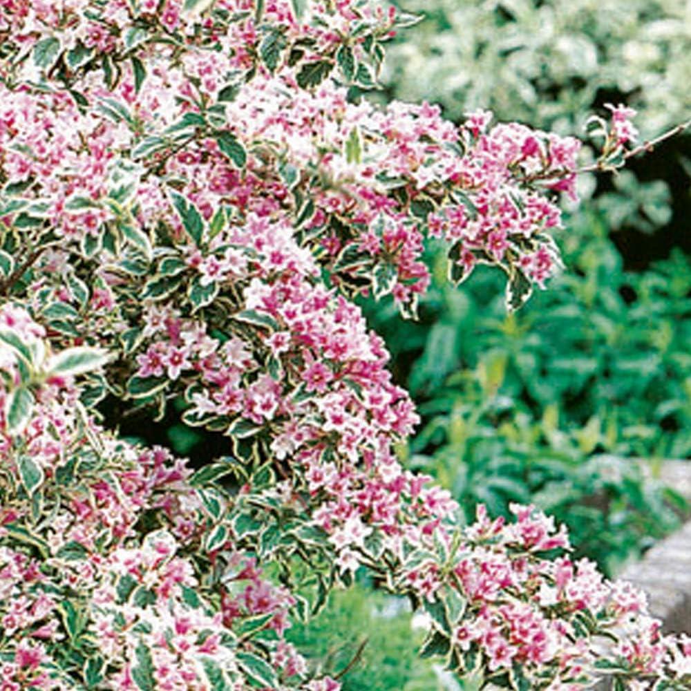 Weigela /'Florida Variegata/' Hardy Deciduous Shrub Garden Plant 1 x 9cm Pot T/&M