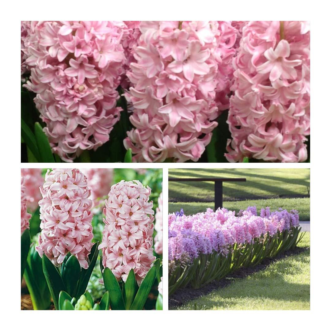 Humphreys Garden Hyacinth Jacinthes Fondant x 10 Bulbs Bulbes