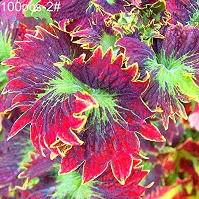 Rose Iris Tectorum Perennial Garden Plant Seeds Flowers, Pack of 100 Seeds by Ammzzoo111, Colored Grass Coleus Seeds Bonsai Pot Perennial Plant Home Garden Decor - 2# Coleus Seeds: Home Improvement