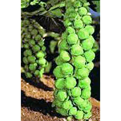 Brussel Sprouts Seed, Churchill, Heirloom, Organic, Non Gmo, 25+ Seeds, Early Delicious Veggie : Garden & Outdoor
