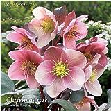 冬咲きクリスマスローズ HGCピンクフロスト 13.5cmポット1苗(2年生苗)