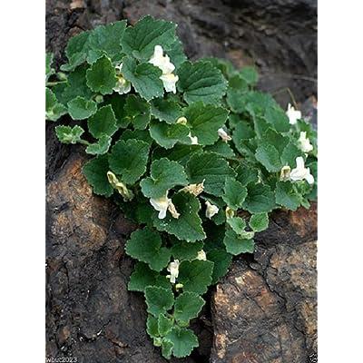 Asarina procumbens (TRAILING SNAPDRAGON) Perennial Vine. 10 SEEDS : Garden & Outdoor