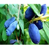 Gimolost 3 Pflanzen Sparset. Strezhevchanka + Vostorg + Leningradskij Velikan, Lonicera kamtschatica Honigbeere, Sibirische Blaubeere