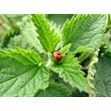 Earthcare Seeds Stinging Nettle 200 Seeds (Urtica dioica) Non GMO, Heirloom