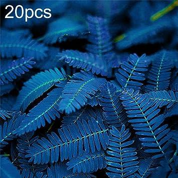 DeYL Semillas Plantas 10/20 / 50Pcs Únicos Azul Mimosa Pudica Semillas Jardín Bonsai Plantas Decoración - 10Pcs Mimosa Púdica #: Amazon.es: Deportes y aire libre