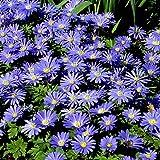 Anemone blanda Blue Shades - 60 Flower Bulbs