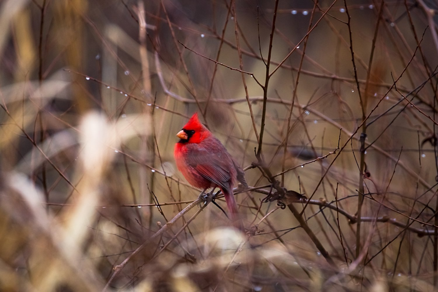 Cardinal Photography Print - Bird Animal and Wildlife Wall Art Home Decoration - Cardinal Resting Among Raindrops