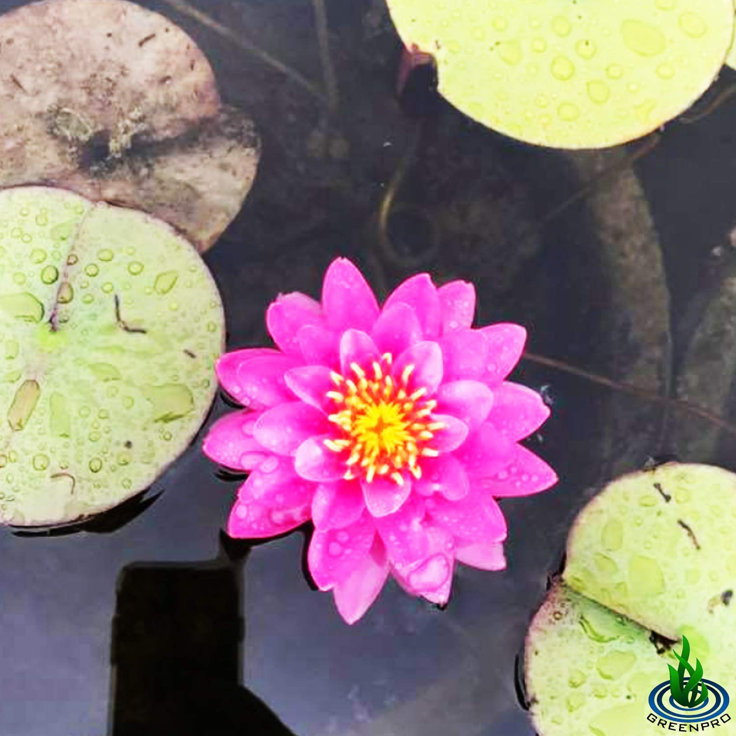 Live Water Lily Tuber Nymphaea Perry's Fire Opal Pink Red Hardy Aquatic Plants for Aquarium Freshwater Fish Pond Flower Garden by Greenpro (Image #3)