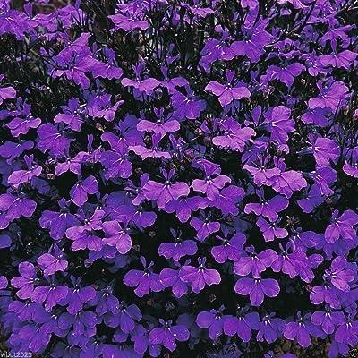Lobelia Crystal Palace, Seeds - Intensly rich, dark blue flowers(1000 Seeds) : Garden & Outdoor