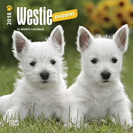 West Highland White Terrier Puppies 2018 Small Wall Calendar