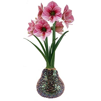 AchmadAnam - Glitter Dipped Waxed Amaryllis Bulb - Multicolor - Blooms Without Soil/Water, Plant, Bulb, Tree : Garden & Outdoor