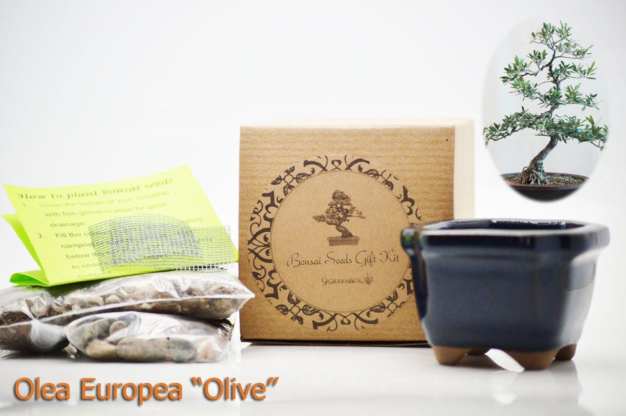 9GreenBox.com B00GIXXYVK Olea Europea Olive Bonsai Seed Kit