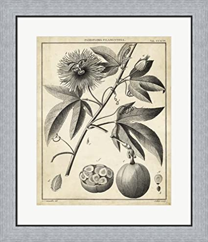 Amazon.com: Passiflora I by Charles Francois Sellier Framed Art ...