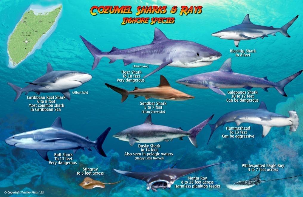 Cozumel Sharks Rays Guide Franko Maps Laminated Fish Card Franko Maps Ltd 9781601904935 Amazon Com Books