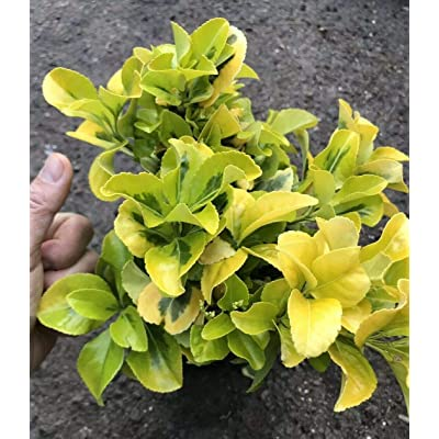 AchmadAnam - Live Plant - Rooted-Golden Euonymus Evergreen Shrub Green Gold Variegated 1g : Garden & Outdoor