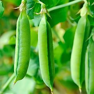 Super Sugar Snap Pea Garden Seeds - 5 Lbs - Non-GMO, Heirloom Vegetable Gardening Seed