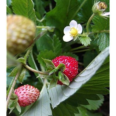 20 Wild Woodland Strawberry Plants Ground Cover Fast Spread Perennial Fresh Beauty : Garden & Outdoor