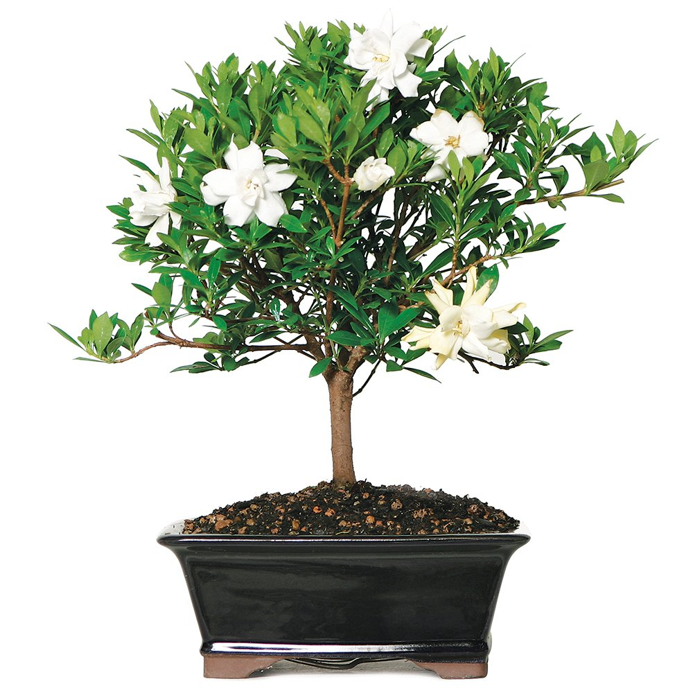 Brussel's Live Gardenia Outdoor Bonsai Tree - 6 Years Old; 8'' to 10'' Tall with Decorative Container (Not Sold in Arizona)