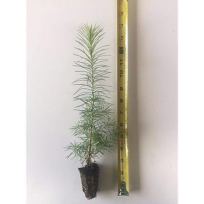1 Japanese Larch (Larix kaempferi) - Bonsai or Landscape 6-12 Inches Tall, Ready Product from Grandiosy Farm : Garden & Outdoor