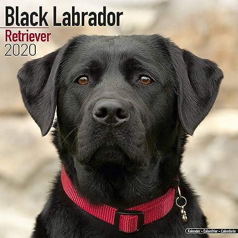 Euro 2020 Nice Calendrier.Labrador Retriever Calendar 2020 Black Dog Breed Calendar Wall Calendar 2019 2020