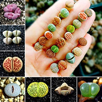 FLORAL TREASURE Mixed Rare Lithops Seeds Living Stones Succulent Cactus Organic Bulk Plant -pack of 40 seeds