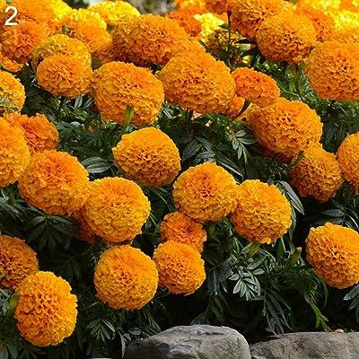 scgtpapadc 50Pcs Marigold Seeds Ornamental Plant Flower Home Garden Office Balcony Decor - 2# Marigold Seeds, Plant Seeds, Flower Seeds : Garden & Outdoor