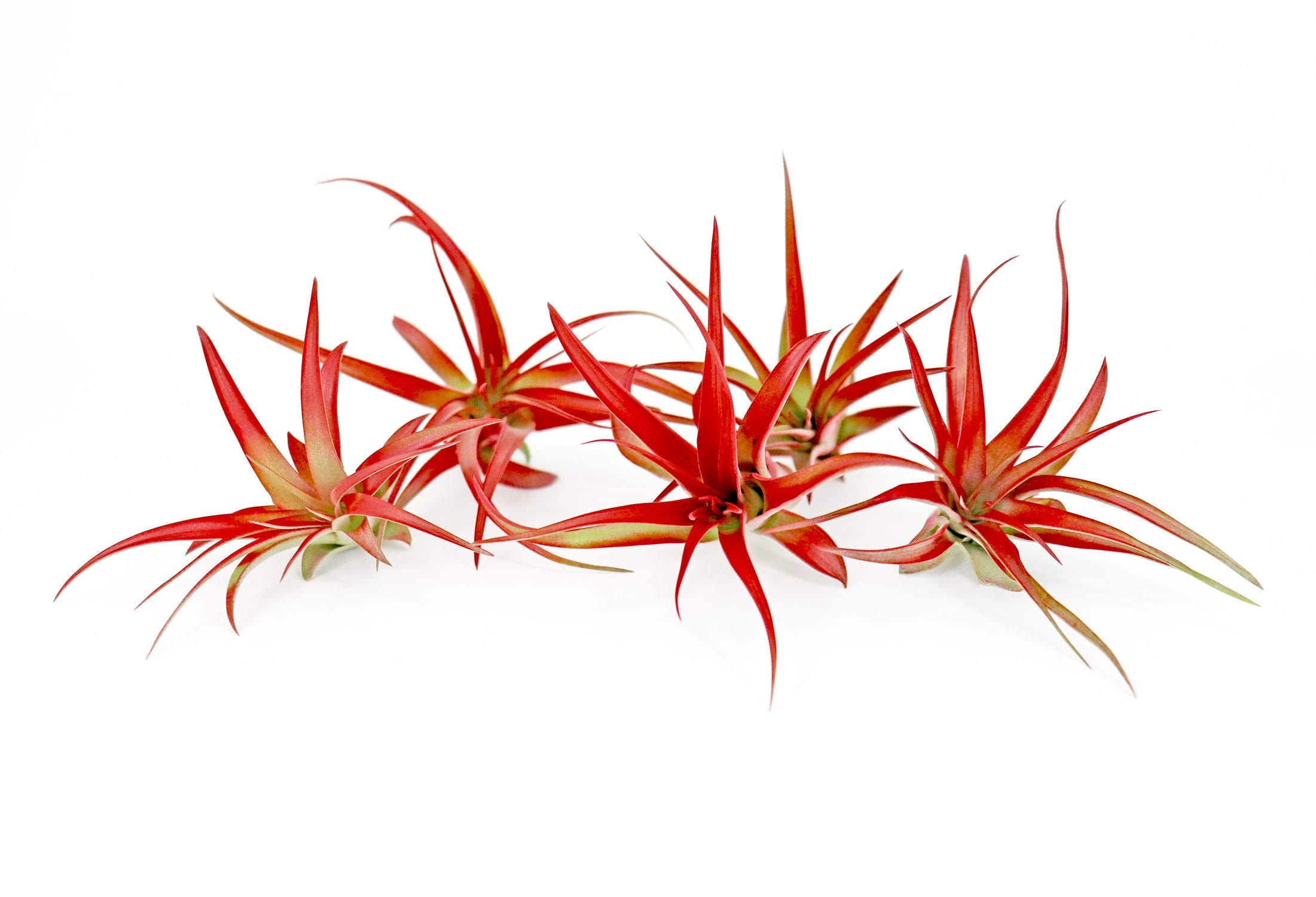 5 Live Air Plants | Bright Red Tillandsia Air Plant Pack | Colorful Indoor Plants | Real Houseplants | Easy Terrarium Decor Kit by Plants for Pets by Plants for Pets (Image #5)