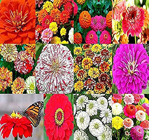BIG PACK - (2,000+) ZINNIA RAINBOW Mix - Flower Seeds By MySeeds.Co (Big Pack - Zinnia Mix) ()