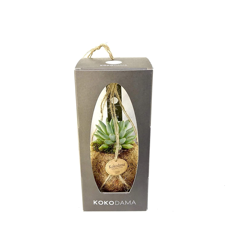 House Plant Kokodama Succulent Gift Package FloraStore Height 22 cm 1x Pot Size 12 cm