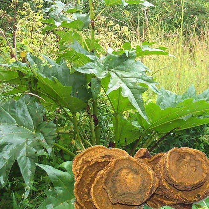 Rheum Officinale Seeds 15+ Semillas orgánicas asombrosas de la ...