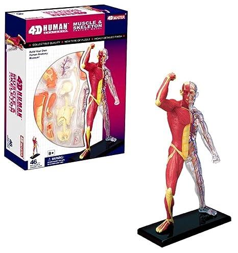 TEDCO 4D MUSCLE & SKELETON Human Bones Body Anatomy 3D Puzzle Model science  Medical