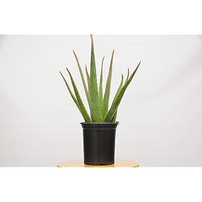 """1 Aloe Vera Succulent House Plant - 6"""" Pot : Garden & Outdoor"""