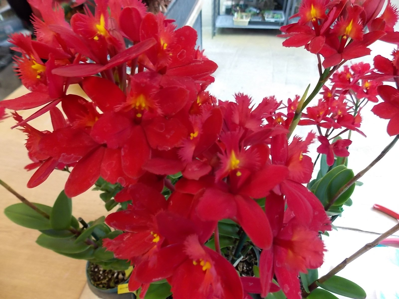Kawamoto Orchid Nursery Epc. Cerina 'Nadia' NEW! Large Red! Exclusive! Collector's! Orchid Plant