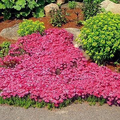 Onbay1 Seed-Edible Vanilla Thyme Seeds, Premium Flower Viewing Plant Edible Vanilla Thyme Seeds Herbs : Garden & Outdoor